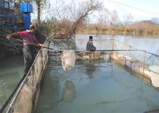 Çiftliklerde yasalara uygun balık üretiliyor
