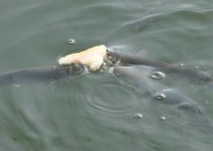 İzmit Körfezi'ndeki balıkların ekmek kavgası