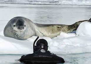 İşte fokların canavarlaştığı o fotoğraflar