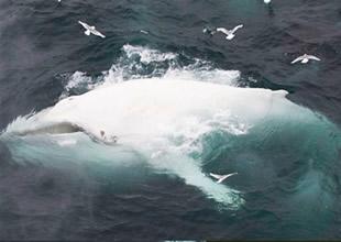 Norveç kıyılarında beyaz balina görüldü