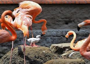 Gediz'de 'Flamingoların kurtuluş savaşı'