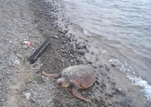 Oltaya takılarak ölen caretta kıyıya vurdu