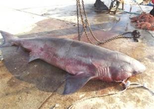 Edirne Enez sahilinde 1.5 tonluk köpek balığı yakalandı