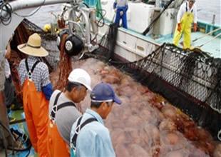 Japonya'da balıkçıların kabusu geri döndü