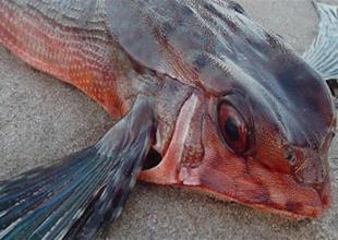 """""""Bey balığı"""" artık Karadeniz'de de çıkıyor"""