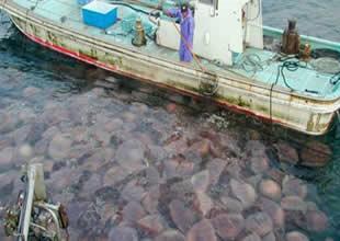 20 yılda bir denizanası patlaması yaşanıyor