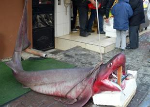 Marmara'da 600 kiloluk camgöz çıktı