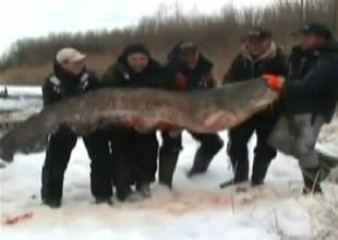 Bu balığı 5 kişi güçlükle kaldırabildi