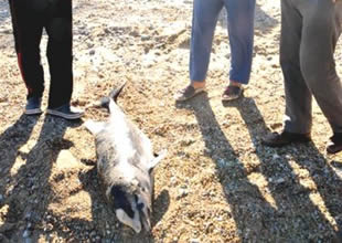 Bodrum'da ölü yunus karaya vurdu