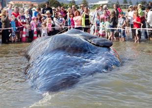 45 tonluk dev Yeni Zelanda'da kıyıya vurdu