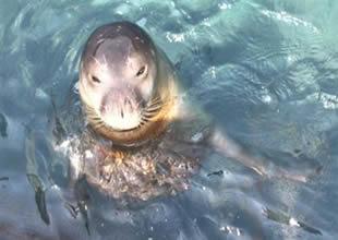 Akdeniz foklarının nesli tehlike altında!