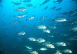 Sakinleştiriciler, balıkları obur yapıyor