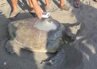 Kaplumbağa  Defne, Bardawil Gölü'nü sevdi