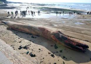 Sahile vuran 18 metrelik balina korkuttu