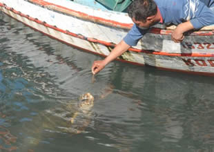Caretta carettalar balıkçıların maskotu oldu