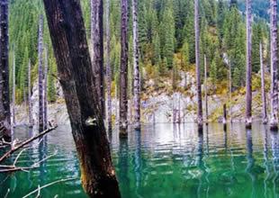 Kaindy Gölü'nün altında bir orman var