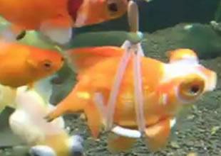 Yüzemeyen balığa can yeleği giydirdiler
