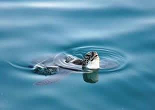 Mersin sahillerinde kaplumbağa nöbeti!