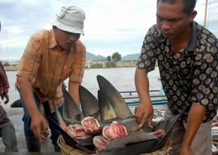 Köpekbalıkları büyük tehlike altında