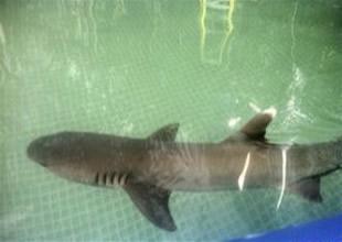 Reklam yıldızı köpekbalığı stresten öldü