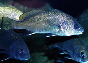 Eşkina balığı beynindeki taş için avlanıyor