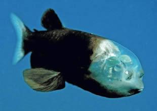 Transparan kafalı balık türü şaşırtıyor
