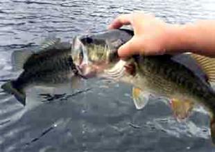 Büyük balık küçük balığı yutmaya çalıştı