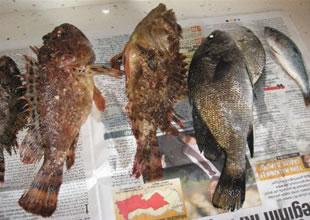Sinop'ta balıkçıları iskorpit güldürüyor