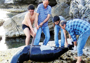Akdeniz foku domuz kurşunu ile öldürüldü