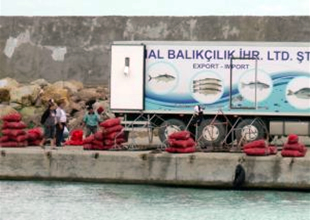 Akçakoca'da deniz salyangozu mevsimi