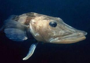 Bu balığın damarlarındaki kan şeffaf