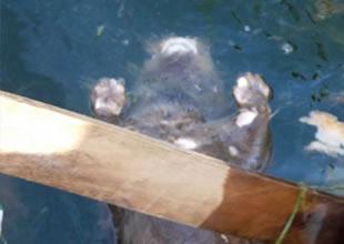Su samurunu bağlayıp denize attılar