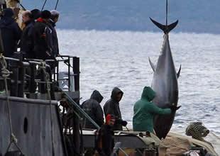 Saros Körfezi'nde kaçak avlanan orkinoslara el konuldu