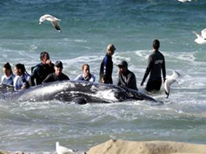 Obama'ya 'Balinaları gürültüden koru' çağrısı