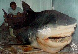 Marmara'da 4,5 metre köpekbalığı