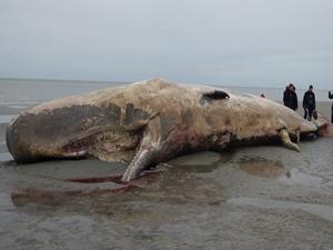 Danimarka'da dev balina ispermeçet karaya vurdu