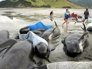 Geçen yüzyılda balinaların yüzde 99.1 yok oldu