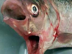 Avustralya'da balıkçılar, iki ağızlı balık yakaladı