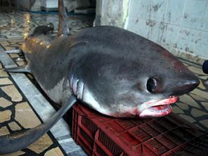 Mersin'de 4 metrelik testere kuyruklu köpekbalığı yakalandı
