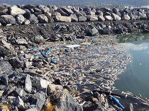 İskenderun Körfezi'nde  toplu balık ölümleri korkuttu