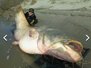 Po Nehri'nde 127 kilogram ağırlığında yayın balığı yakalandı