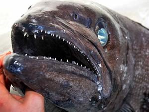 Türkiye sularında bir ilk! Yağ Balığı, Muğla açıklarında yakalandı