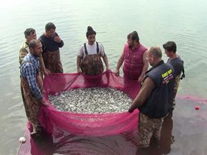 İznik Gölü'nde gümüş balığı istilası