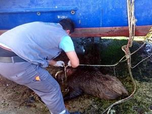 Beykoz'da denizden domuz yavrusu çıktı