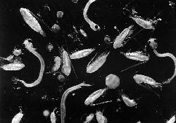 Akdeniz'de 11 yeni plankton keşfedildi