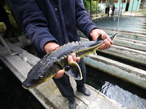 Bolu'da üretilen mersin balıkları nehirlere bırakılacak