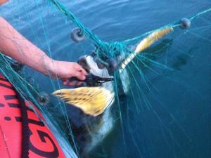 Toplanmayan ağlara dolanan caretta carettayı Sahil Güvenlik kurtardı