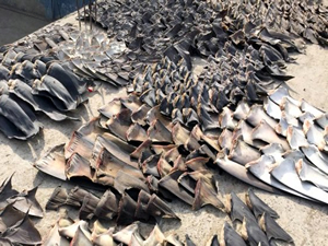 Ekvator'da yüzlerce köpekbalığı yüzgeçleri için katledildi