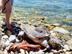 Denizde yaralı bulunan caretta caretta öldü