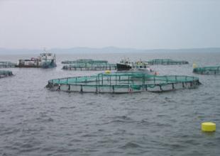 Fırtına balık çiftliklerini patlattı, balıklar kıyıya vurdu